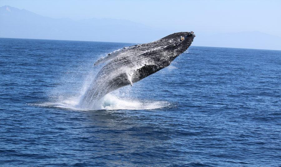 Killer Whales on Monterey Bay
